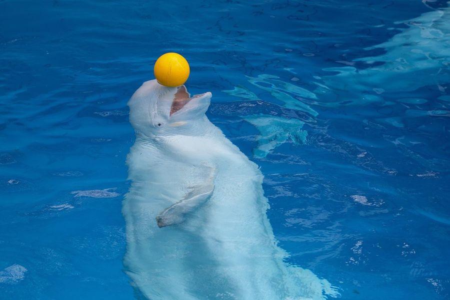 White Whale Whale Ball Dolphinarium Sochi Russia
