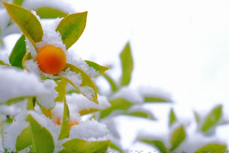 元旦は日暮れから雪になった。 Snow EyeEm Nature Lover Snapshot Cold Days Plants Macro FUJIFILM X-T1