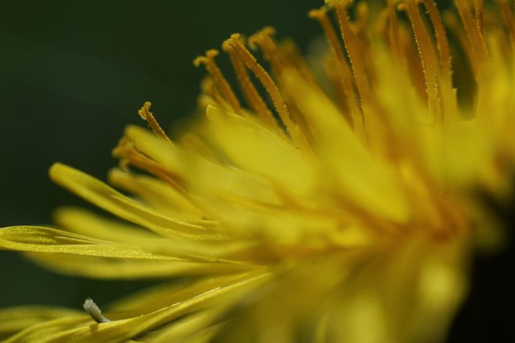 Taraxacum Officinale Dandelion Garden Photography Macro Photography Flower Head Flower Yellow Springtime Petal Uncultivated Macro Close-up Plant Wildflower Flowering Plant Plant Life Botany Blossom In Bloom