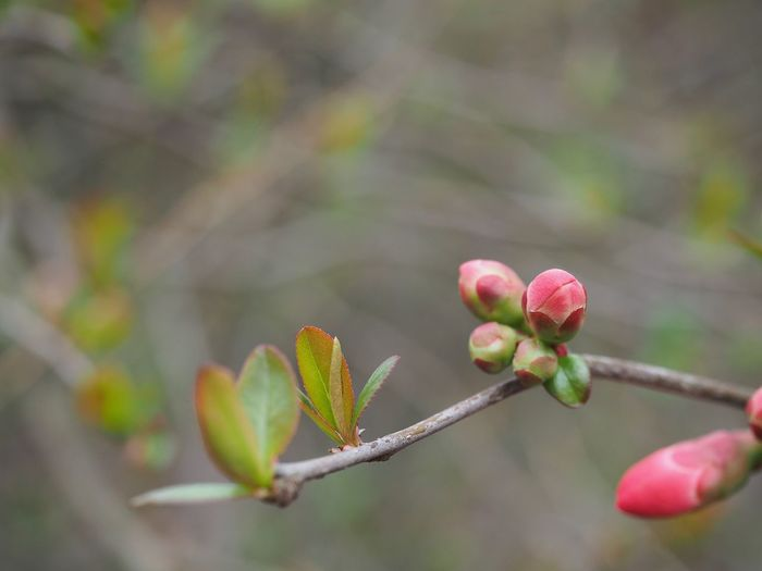 Spring Is Coming  Spring Flowers Spring Plant Growth Beauty In Nature Pink Color Close-up Flower Freshness Nature Focus On Foreground Vulnerability  Flowering Plant Fragility Beginnings Day Outdoors No People Bud Tree Twig Branch