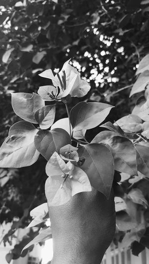Flower Nature Close-up No People Galaxys7 Beauty In Nature Jeddah Blackandwhite Black & White Black Is Beautiful Leaf Plant Flower Head Outdoors Day