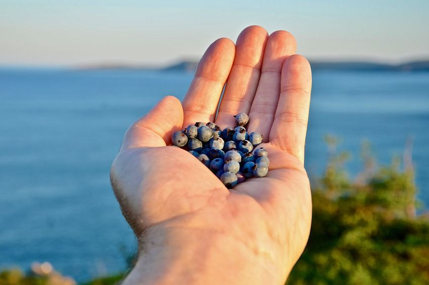 mmmmmmm good!!! Mission Human Hand Hand Newfoundland, Canada Focus On Foreground Sea Water Holding Wild Blueberries Close-up Fruit Day Outdoors Cape Spear In Background Ripe Human Body Part One Person Body Part Ocean Sunshine Day