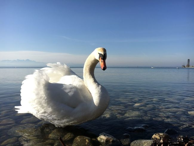 """Lake Constance - Germany. Picture was taken with my iPhone 6s using Adobe Lightroom in RAW, """"Developing"""", and Editing in Lightroom took place on the very phone Traveling Photography Hdr_Collection Nature Hdr Photography Vacations Travelingtheworld  Travel Photography Outdoors Lost In The Landscape Hdrphotography Close Up Photography Animal Wildlife Wildlife & Nature Beauty In Nature Travel Destinations Animals In The Wild Closeup In Nature Close Up Shoot Travelingtheworld"""
