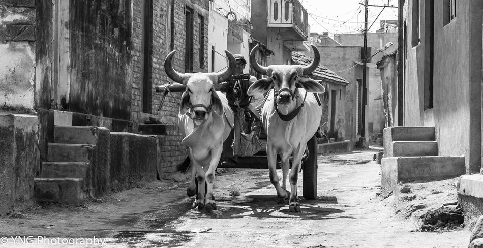 Secret of India. India Black & White Tradition Culture Cows Farmer Village Life Village City Of Love♡ In a small villafe in India Gujarat i captured the most amazing scenes that took my breath away that showed tradition and value and Culture The Street Photographer - 2018 EyeEm Awards