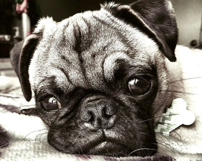 Pug Life  Pug Life ❤ Check This Out EyeEm Best Shots Taking Photos Relaxing Doglover Mybaby❤ Fiona-June