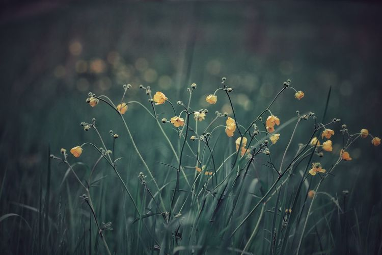 Buttercup Buttercups Outdoor Photography Outdoors Nature Themes Backgrounds Green Green Green!  Full Frame Canonphotography Flower Close-up Sky Plant Plant Life Growing Closing Wildflower Farmland Foggy Blooming Uncultivated