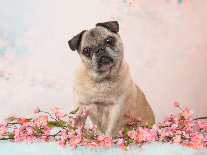 Cute sitting senior pug dog facing the camera on a pink romantic flower background Pug Animal Themes Dog Domestic Animals Flower One Animal Pets Senior Senior Pug Studio Shot