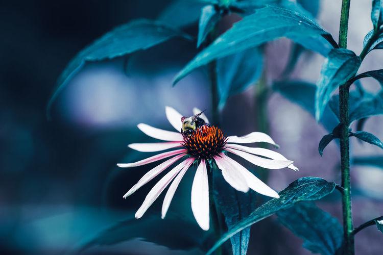 Close-up macro image shot of bee on beautiful fairy dreamy magic white daisy flower