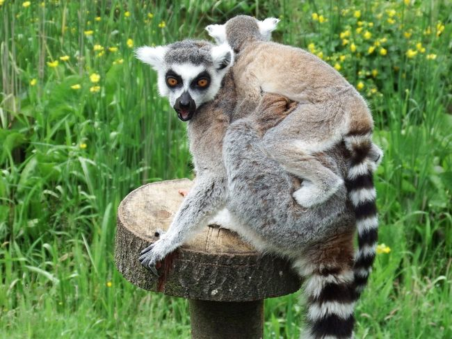 Animals In The Wild Animal Wildlife Lemur Grass Mammal Looking At Camera One Animal Animal Themes Nature Outdoors EyeEmNewHere