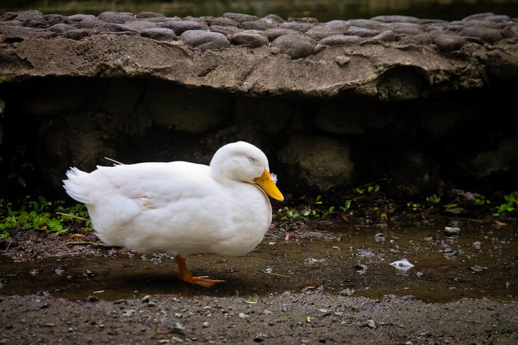 Animal Themes Animal Wildlife Beauty In Nature Bird Duck Nature No People One Animal Outdoors Waterfowl White Duck