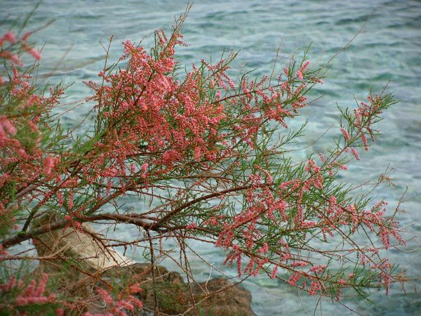 Tamarisk Tree Nature Beauty In Nature Blooming Blossom Red Red Blossom Sea Blue Sea Red And Blue Seascape Long Goodbye Branch Tree Branches Backgrounds Tree And Sea Water The Secret Spaces The Great Outdoors - 2017 EyeEm Awards