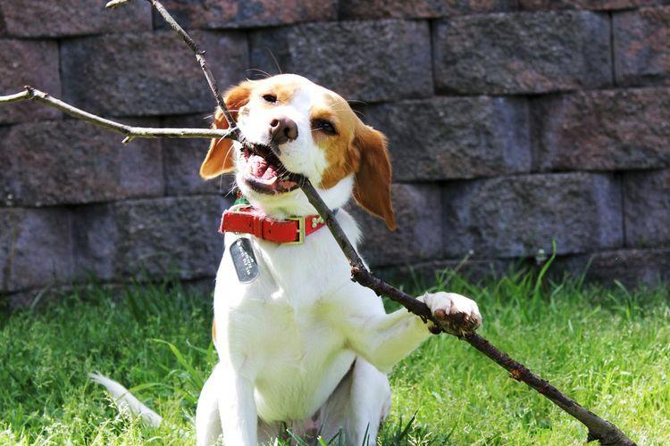 Beaglier Stick