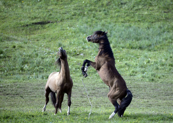 Fight Horses Animal Themes Animal Wildlife Animals In The Wild Competition Conflict Day Field Fighting Horse Mammal Nature No People Outdoors