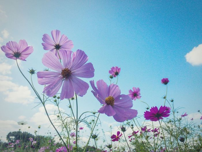 Flower Pink Color Beauty In Nature Cosmos Flower Blooming Fineday