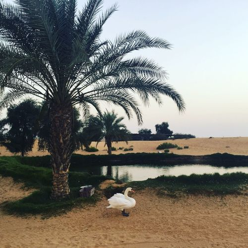 Oasis at Arabian desert Desert Oasis Tree Plant Sky Nature Tranquility Water No People Tranquil Scene Beauty In Nature
