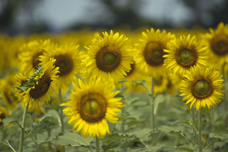 Sunflowers Flower Yellow Flowering Plant Freshness Plant Fragility Beauty In Nature Vulnerability  Growth Flower Head Petal Close-up Inflorescence Nature Focus On Foreground Day Sunflower Field Land No People Pollen Outdoors