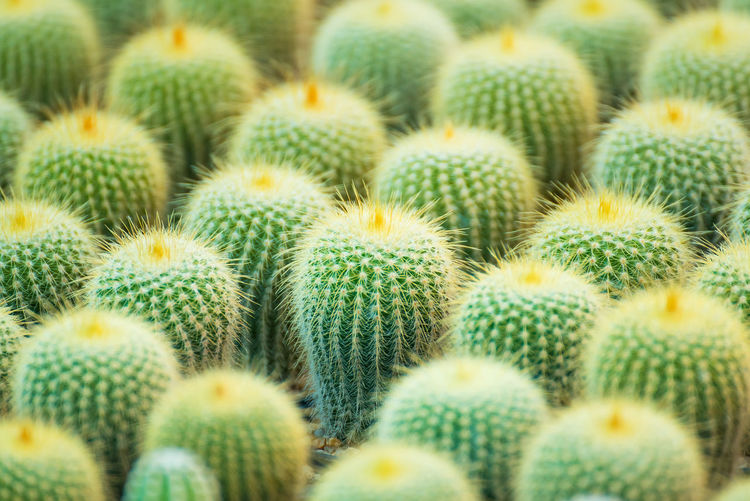 Group of small cactus plant in the pot at cactus garden.Thailand Arid Climate Backgrounds Barrel Cactus Beauty In Nature Cactus Close-up Day Freshness Full Frame Green Color Growth Large Group Of Objects Natural Pattern Nature No People Outdoors Plant Sharp Spiked Spiky Succulent Plant Thorn
