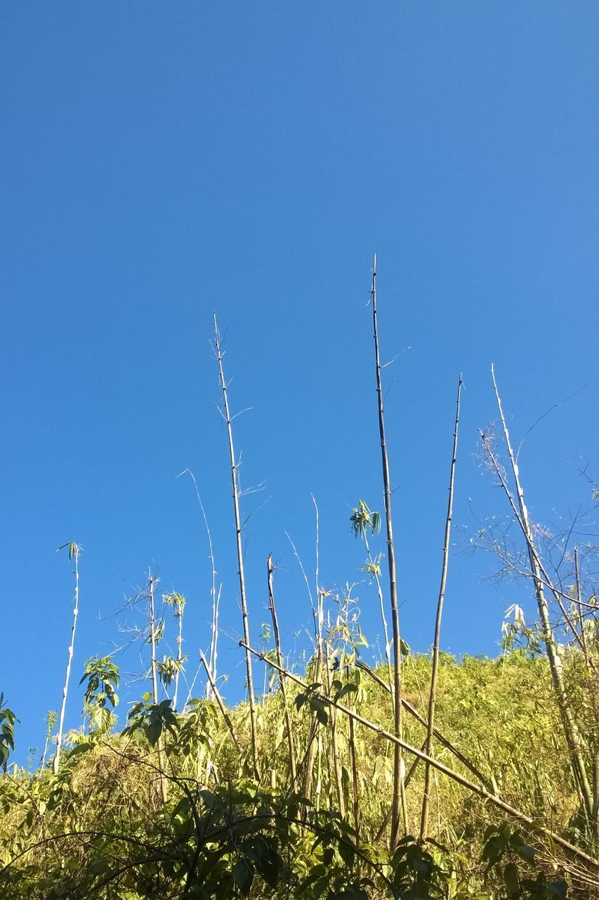 LOW ANGLE VIEW OF PLANTS ON FIELD AGAINST CLEAR SKY