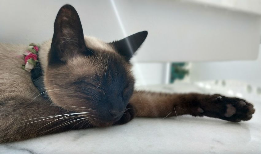 Pets Domestic Animals One Animal Domestic Cat Mammal Lying Down Animal Themes Indoors  Siamese Cat No People Close-up Day New Angle Cat Sleeping Cat Morning