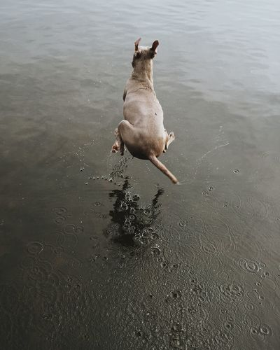 High angle view of weimaraner jumping over lake