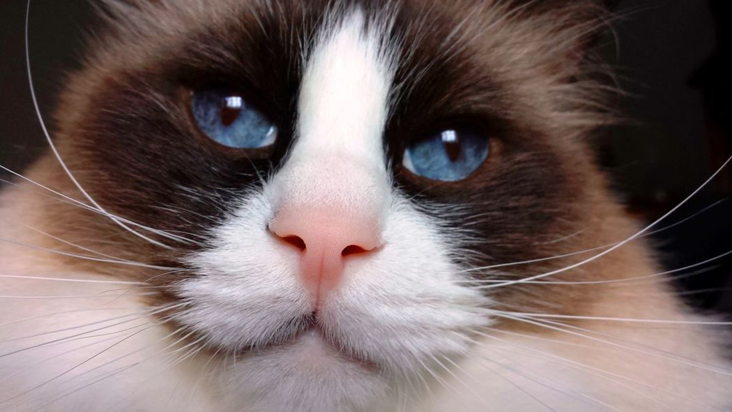 Blue Eyed Cat Cat Model Cat Portrait Cats In The Sun Multicolored Ragdoll Cats Seal Mitted Close-up Cat Lovers Cat Eyes Stunning Look Feline Portraits Intensity Fine Detail Contrast Colors Feline Eyes Feline Love Natural Model At Attention Whiskers White Whiskers Cat Photography Color Contrast