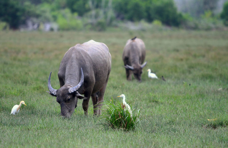 Water buffaloes grazing on grassy field