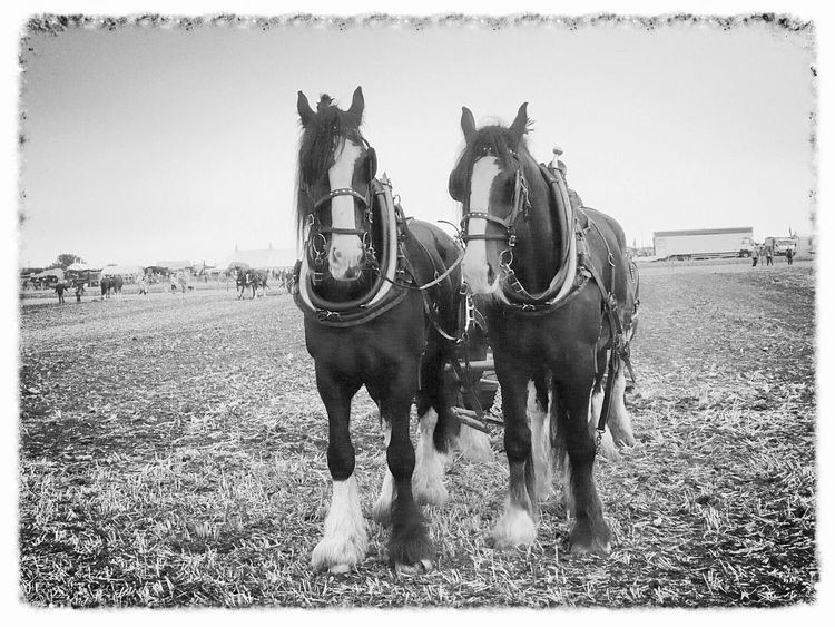 Black And White Great Dorset Steam Fair Great Day Out Transportation Horses Animals Relaxing Taking Photos Shire Horses Two Is Better Than One