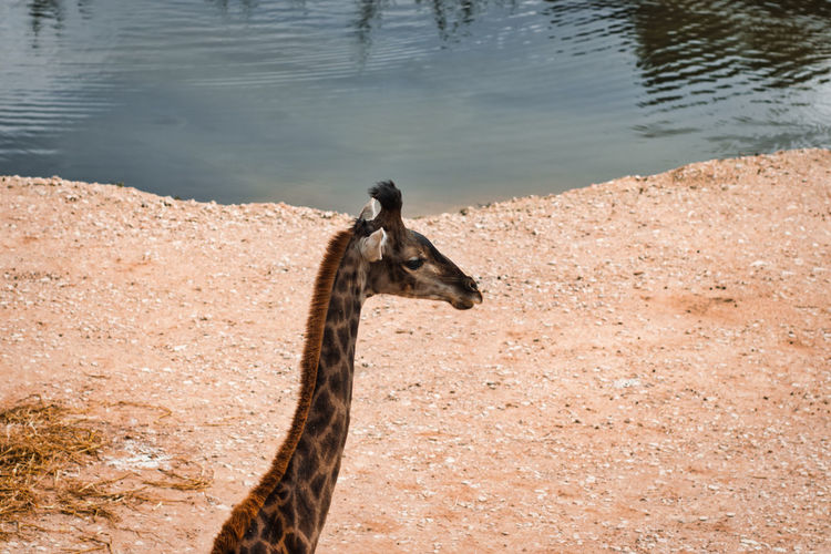 High angle view of giraffe on land