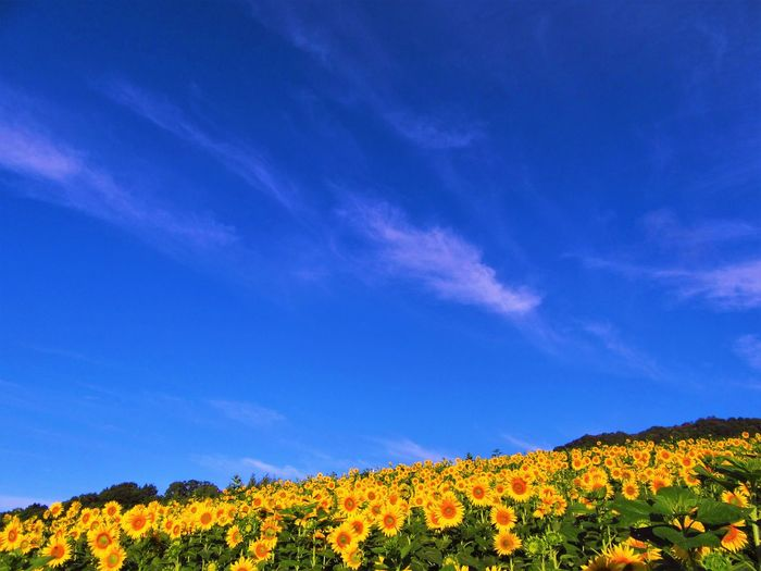 No People Outdoors Nature Flowering Plant Plant Flower Growth Sunflower Cloud - Sky Sky Yellow Blue