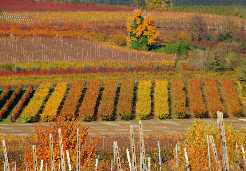 Autumn Leaf Beauty In Nature Multi Colored Outdoors Vineyard Fruit Tree Fruit Orchard Romagna Romagnamia Autumn🍁🍁🍁