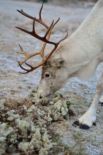 Reindeer eating moss Animal Head  Beauty In Nature Caribou Close-up Day Eating Finland Focus On Foreground Growth Lapland Mammal Moss Nature No People Non Urban Scene Outdoors Part Of Plant Reindeer Selective Focus Tranquility