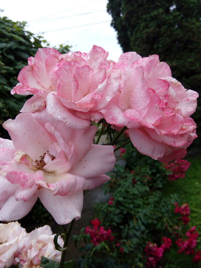 Missing summer Pink Color Nature Beauty In Nature Petal Fragility Flower Flower Head Rose - Flower Outdoors Wild Rose Freshness Day Plant