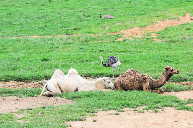 Camels resting 1249 Animal Family Animal Themes Bactrian Camel Beauty In Nature Camel Day Domestic Cattle Dromedary Field Grass Grassy Grazing Green Color Herbivorous Landscape Livestock Mammal Medium Group Of Animals Nature No People Outdoors Relaxation Rural Scene Sheep Young Animal