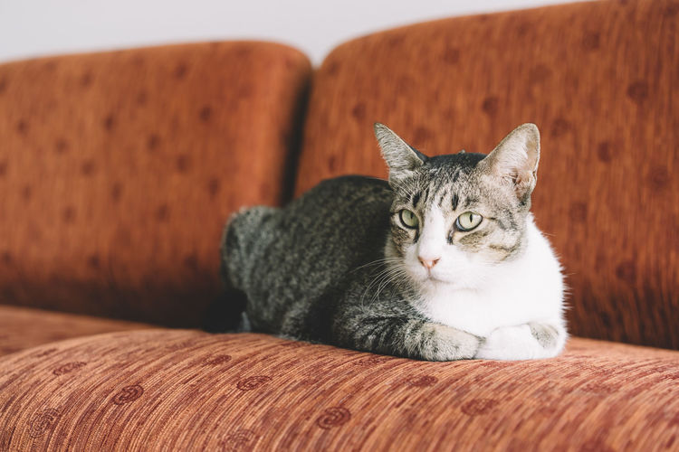 Animal Themes Cat Close-up Day Domestic Animals Domestic Cat Feline Indoors  Looking At Camera Mammal No People One Animal Pets Portrait Sofa Whisker