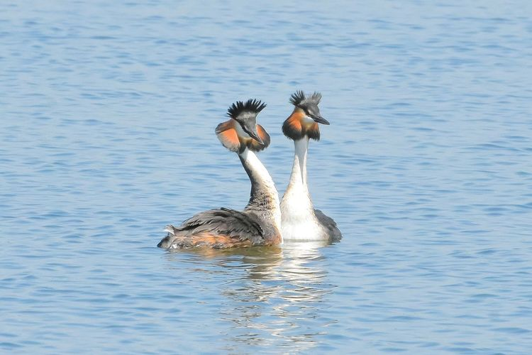 Grebes Animal Themes Bird Animals In The Wild Swimming Lake Water Nature Animal Wildlife Greylag Goose Waterbirds Nature Wetlands Marievale Nature Photography Partners lovers Pair Synchronized Swimming Love ♥