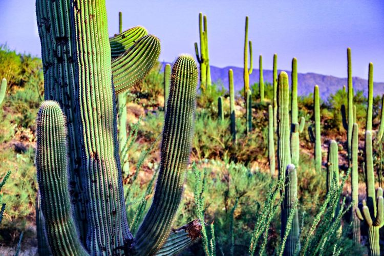 Close-up of cactus growing on field against sky