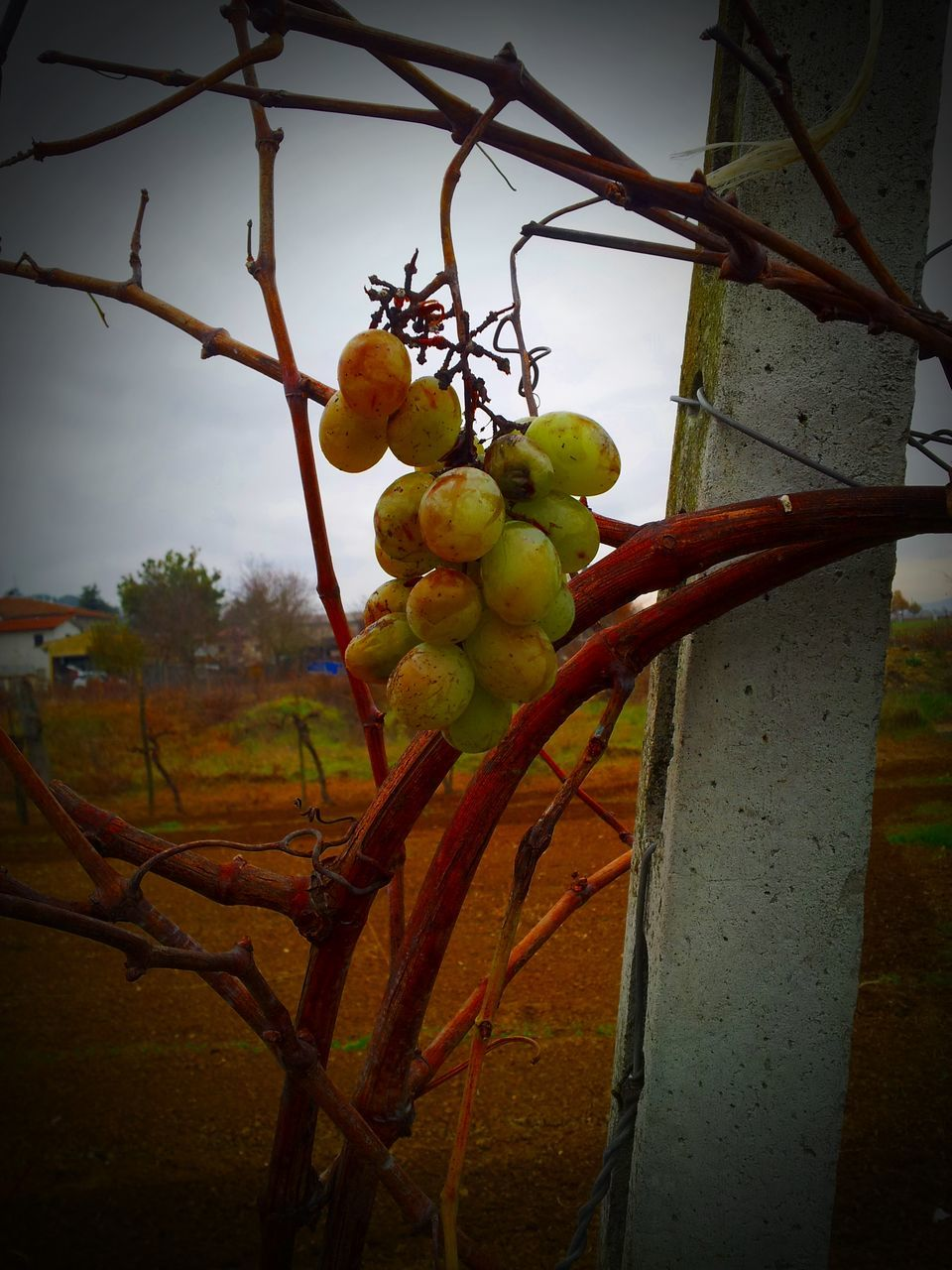 Close-Up Of Grapes Hanging From Vine