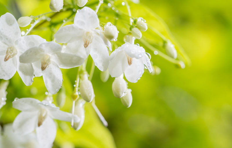 Abstract blur background of white flowers, wrightia religiosa - Wild Water Plum with water droplets, on green nature blur backgroundใ Romantic Beauty In Nature Blurred Background Close-up Day Dew Drop Flower Flowering Plant Focus On Foreground Fragility Freshness Growth Nature No People Outdoors Petal Plant Purity RainDrop Religiosa Selective Focus Springtime Vulnerability  White Color