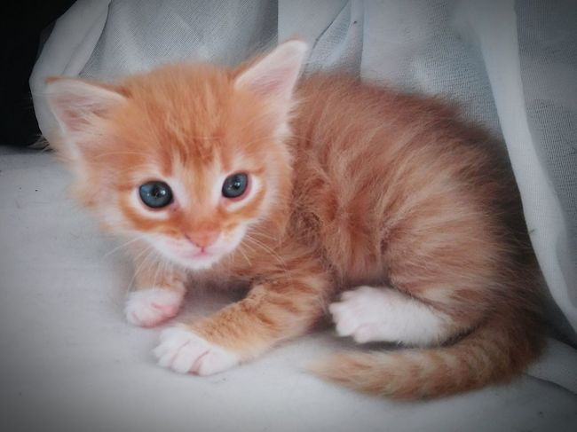 Adorable Lil Peanut💚💚💛💛 Pets Domestic Animals One Animal Domestic Cat Animal Themes Portrait Lying Down Feline Indoors  Whisker No People Close-up Relaxation Animal Family Heart ❤ Whiskers Tranquility Ginger Kittens Young Animal Gingercat Gingercatsofinstagram Pet Portraits