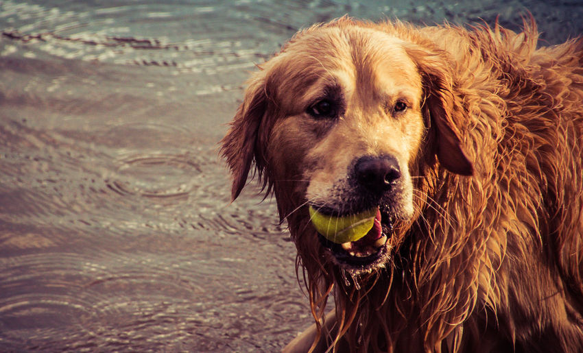 Close-Up Of Golden Retriever Carrying Tennis Ball In Mouth At Lakeshore
