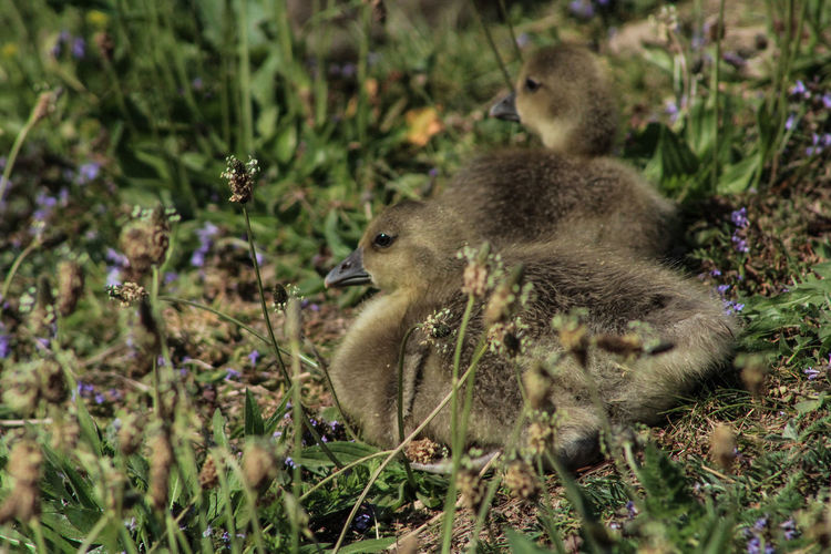 Close-up of ducklings on field