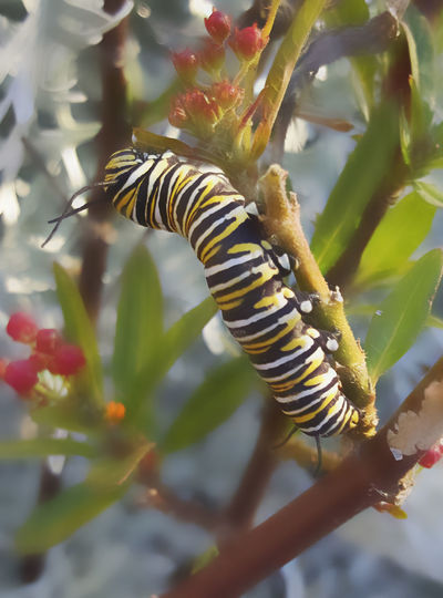 Animal Markings Ascelpia Bush Beauty Of Nature Black And Yellow Markings Butterfly Bush Close-up Green Color Monarch Caterpillar