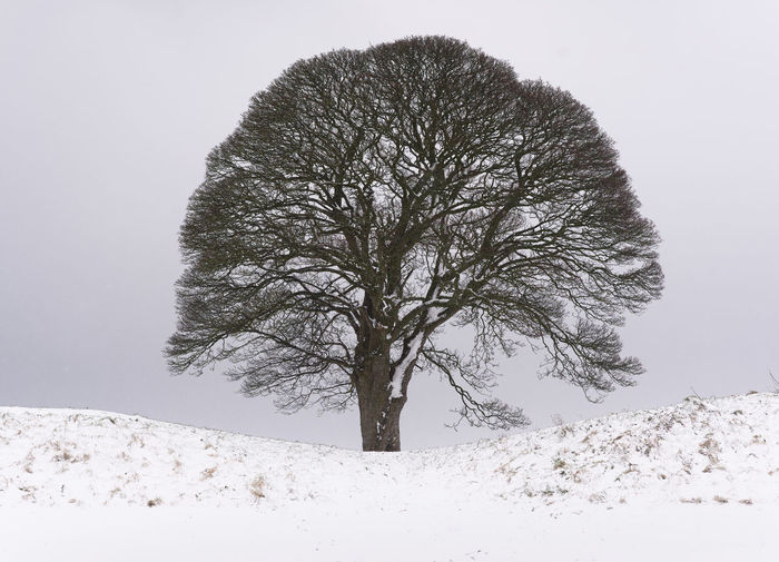 Bare tree on snow covered field during winter