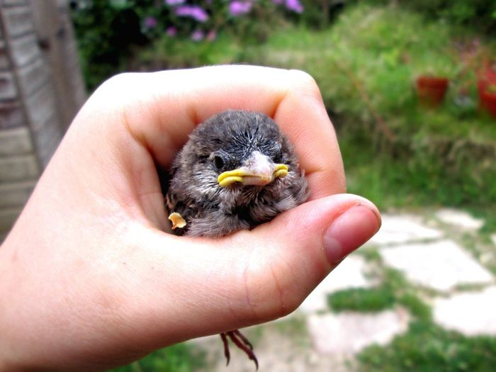 Close-Up Of Human Hand Holding Baby Chicken