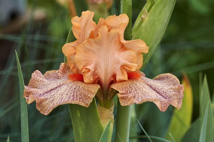 Close-up of orange lily on plant