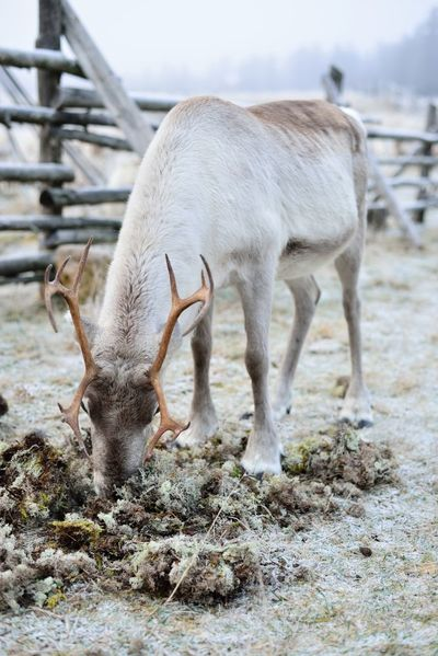 Reindeer eating moss Animal Animal Head  Animal Themes Antlers Day Domestic Animals Donkey Field Focus On Foreground Goat Herbivorous Landscape Lapland Lapland, Finland Livestock Mammal Nature No People Outdoors Reindeer Zoology