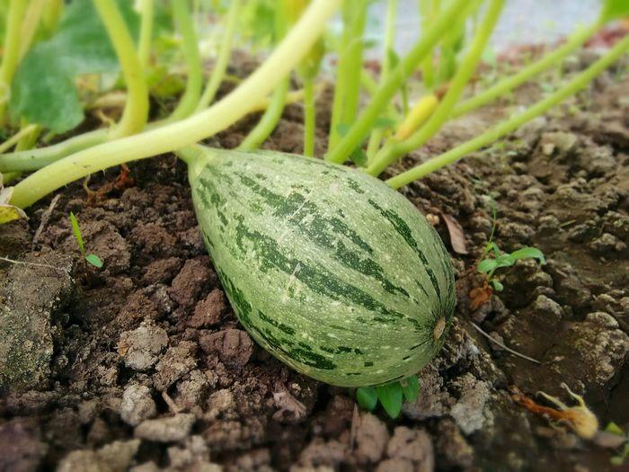 Calabaza Verdura Organic Natural Colours Gourmet Cooking Nature Photography