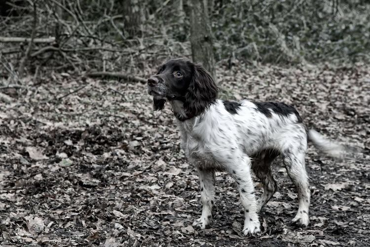 Springer Spaniel Puppy Walking Around Woodland Walks Dog Walking Dogs Black & White