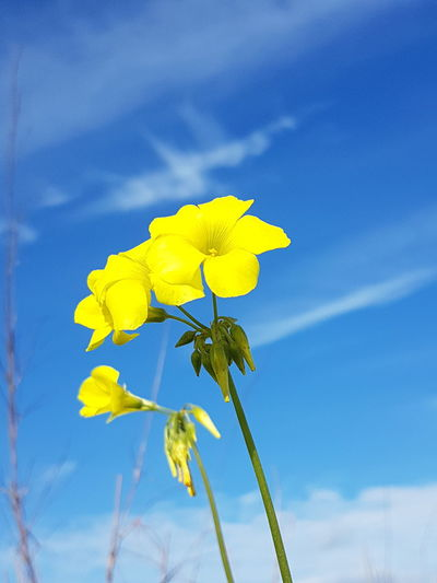 Close-Up Of Fresh Yellow Flower Against Blue Sky