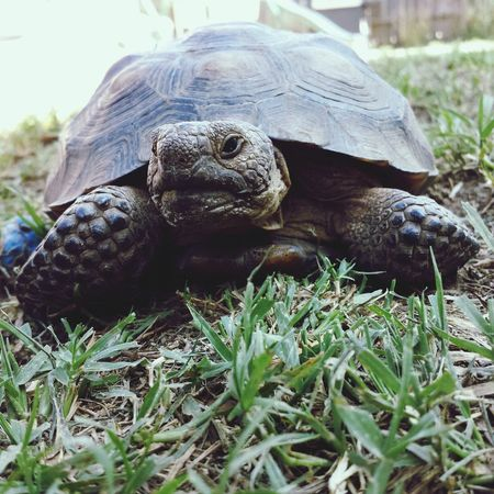 Say hello to Jack, the Desert Tortoise! Animals Zoology Herpetology